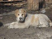 Продам щенков Среднеазиатской овчарки в Улан-Удэ