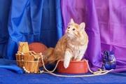Продается отличный котенок Курильского бобтейла