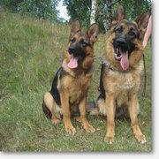продам щенков немецкой овчарки от рабочих родителей