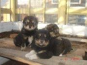 Продаю щенков Бурят-монгольского волкодава (Хоттошо)